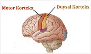 kortekslər